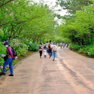八景島シーパラダイスの紫陽花 1