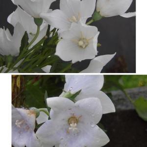 ▽・。・▽しんきち庭*整備と花
