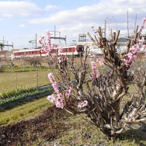 東高安線に春の訪れです
