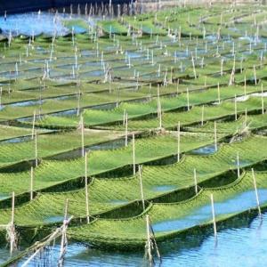 志摩の青さ海苔は順調に育っている (浜島・迫子川)