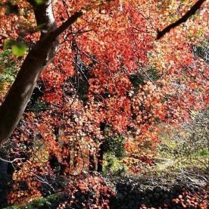 長閑な小春日和の紅葉