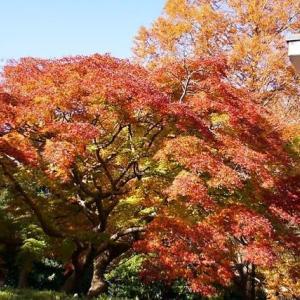 徴古館脇の楓とメタセコイワ