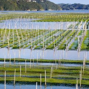 美しい青さ海苔養殖の海(南伊勢町内瀬)