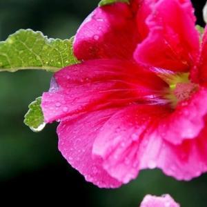 雨に咲く タチアオイ