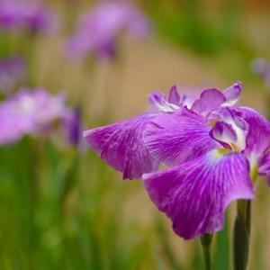 伊勢二見菖蒲園は 花の実物図鑑