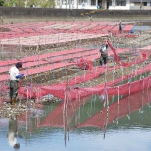 養殖ノリの苗代 (迫子川)