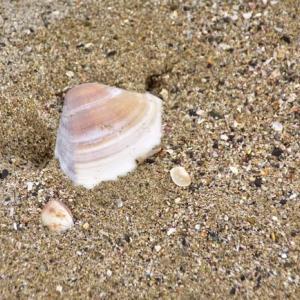 潮の引いた砂浜には ハマグリの貝殻