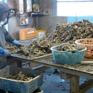 牡蠣殻の掃除