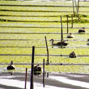 海苔の網と水鳥