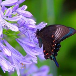 必死に蜜を採る蝶