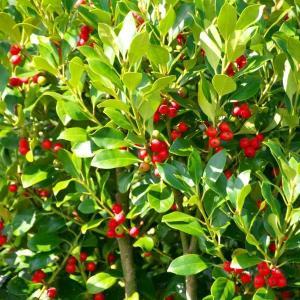赤い実の木