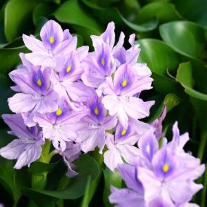 綺麗な花だけにホテイアオイは越冬が難しい