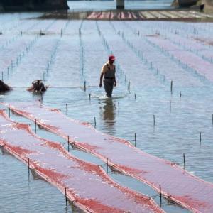 海苔の胞子が付いた網