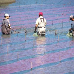 海苔の種付け網の移動準備