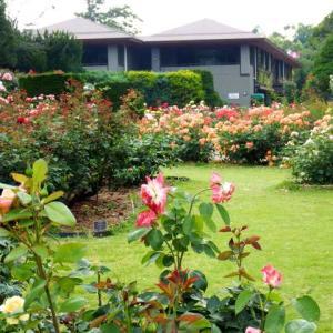 京都・植物園の花 バラ・タイサンボクなど・・・