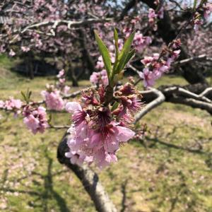 桃の花に癒されながら