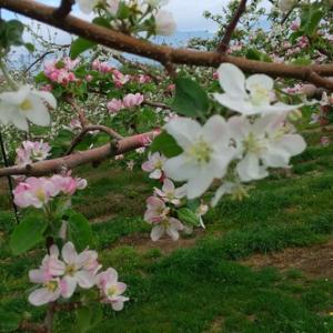 りんごも花盛りに