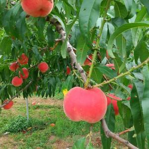 最終の桃の収穫までもう一息です!