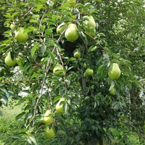 桃がおわりました。