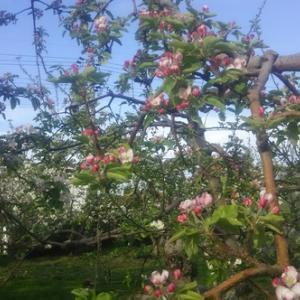 りんごの花も開花ですよ