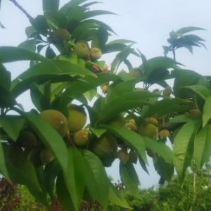 桃の実もぐんぐんと