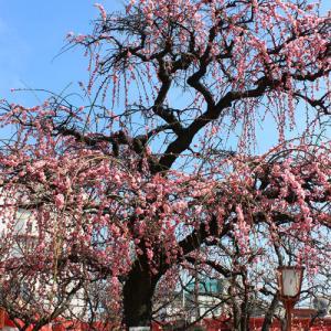 尼崎 熊野神社の枝垂れ梅