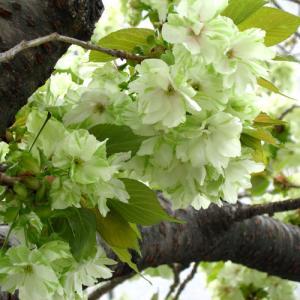 緑のサクラ-緑顎八重桜