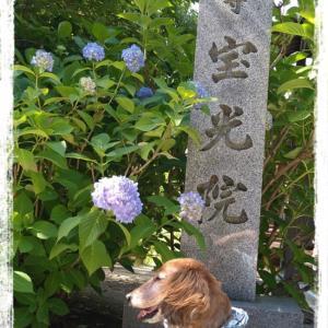 梅雨の中休みの紫陽花寺