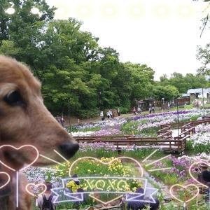 公園の菖蒲園