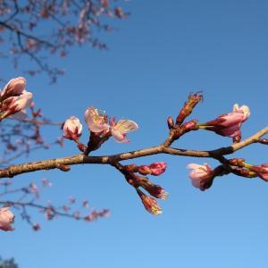 ようやく桜が