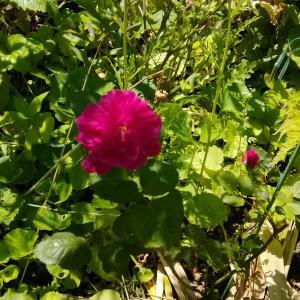 WABARAⅢ 二花三花から葉落