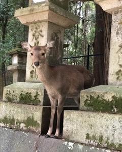参道で鹿と出会う