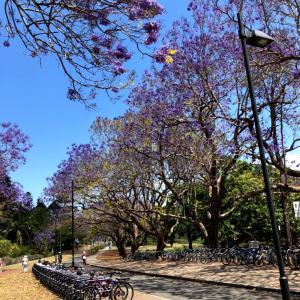 ジャカランダ咲いてます in Brisbane