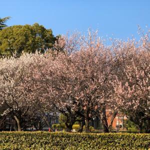 梅は咲いたか桜はまだかいな♪ 障害者福祉センターの近くの梅の花が満開!