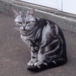 ☆迷い猫探し《札幌市厚別区》高齢猫の《チョビ》