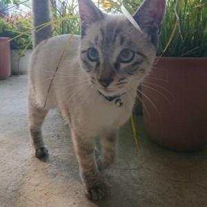 *緊急拡散希望《札幌市白石区北郷》絶対迷い猫に決まってる!