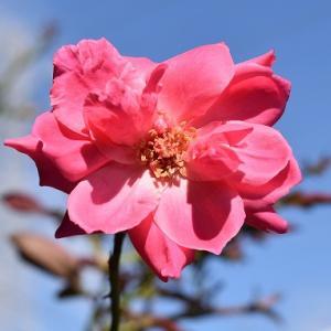 9月のつるバラ ♪♪