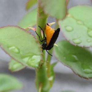 バラの害虫 「チュウレンジハバチ」