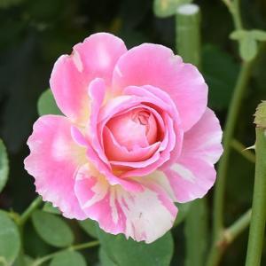 9月末のバラ ♪♪
