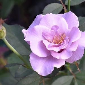 秋バラ ペーパームーン & セントオルバン