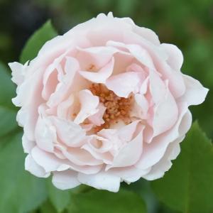 台風の後のバラの続きです