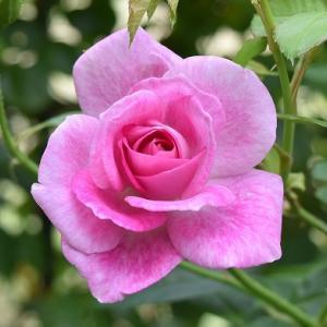 でっかい花の「ピンクアイスバーグ」
