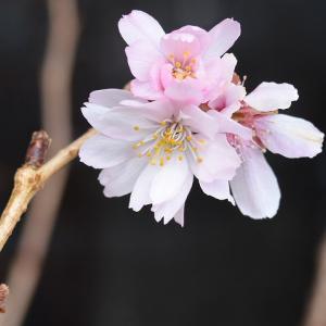 十月桜が咲き続けます‥‥!