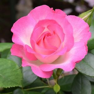 バラのまとめ 「ストロベリーアイス」