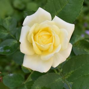 バラのまとめ 「ゴールデンボーダー」