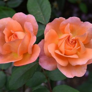 バラのまとめ 「レディ エマ ハミルトン」