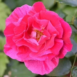 バラのまとめ 「ギーサヴォア」