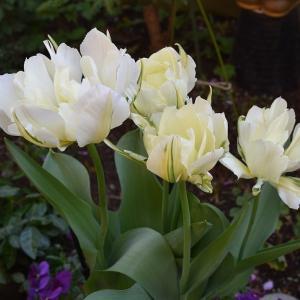 咲いた!咲いた!チューリップの花が!