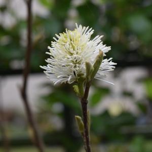 シロバナマンサク(白花万作)が咲きました