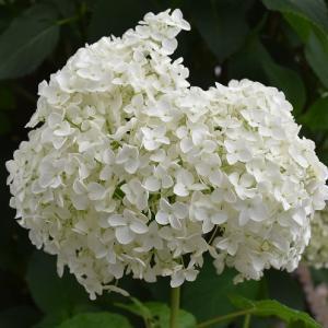 アナベル アジサイが咲いて! カシワバアジサイが咲いて!